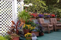 Canna in pot in container garden in backyard deck | Plant ...