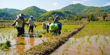 Image result for thailand rice field