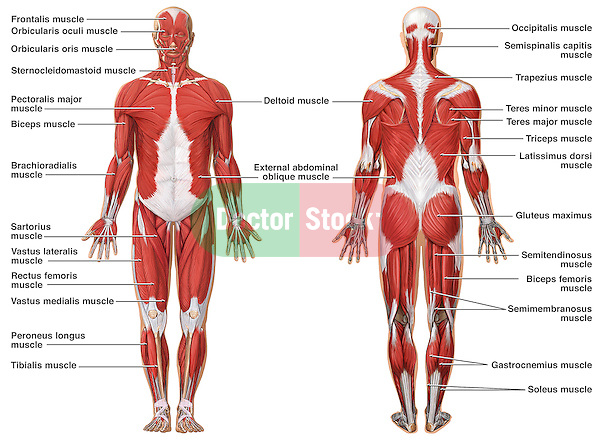human muscular system blank diagram 97 jeep tj radio wiring anatomy of the | doctor stock