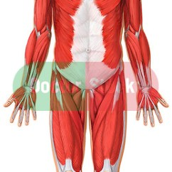 Head And Neck Muscles Diagram Blank Kenwood Kdc Mp345u Wiring 2 Anatomy Of The Muscular System - Anterior View | Doctor Stock