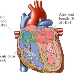 Cardiac Conduction System Diagram Convert Ps2 Keyboard To Usb Wiring Of The Heart | Doctor Stock
