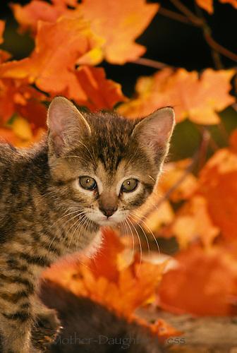 Fall Leaves Fox Wallpaper Kitten In Fall Leaves Mother Daughter Press