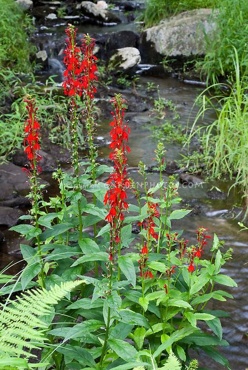 Lobelia cardinalis Cardinal Flower wild Plant Flower