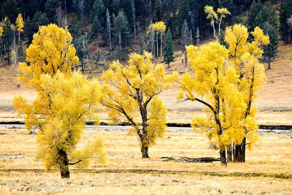 Cottonwood leaves turn yellow in autumn along the Lamar