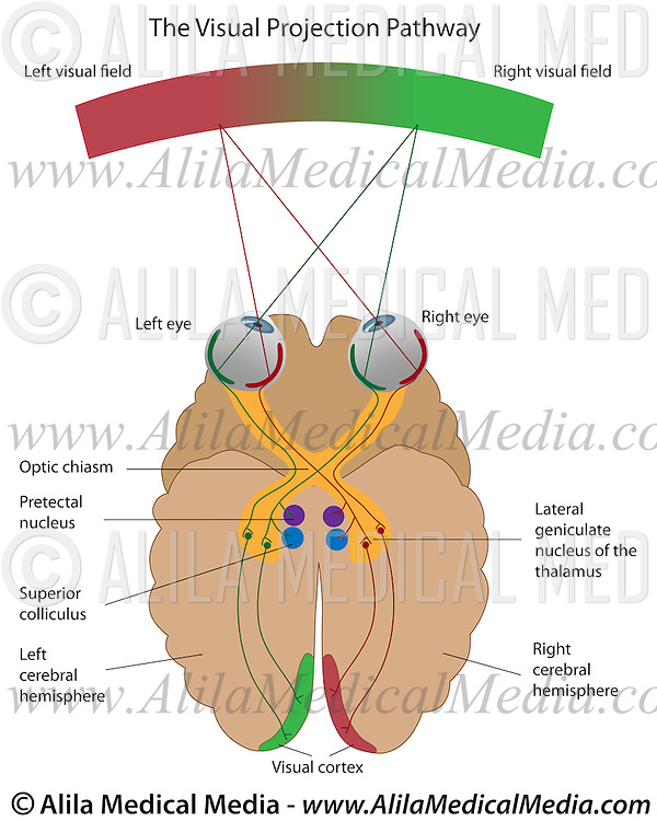 diagram of the left eye relay wiring diagrams central visual pathways alila medical images projection pathway from eyes to brain cortex labeled