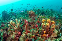 A thick carpet of sponges, algae and corals covers a ...