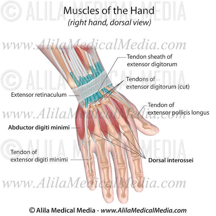 muscles of hand back