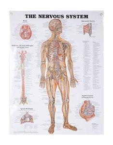 Pin it also anatomical wall charts vinyl laminated north coast medical rh ncmedical