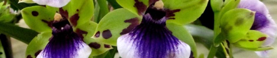 Zygopetalum 'Zest', zygopetalums, zygopetalum zest, orchid, orchids, cymbidium, south east Melbourne, Melbourne, orchid clubs, orchid societies, OSCOV, orchid photos, orchid care, orchid pictures, orchid images, orchid shows, orchid newsletters, orchids on Facebook, orchids of Twitter, Moorabbin, Bentleigh, Brighton, Hampton, Sandringham, Black Rock, Beaumaris, Bayside Council, Bayside district, Kingston, Bayside Melbourne, SE Suburbs, Parkdale, Mordialloc, Carnegie, Cheltenham, McKinnon, Highett, Oakleigh, Clarinda, Heatherton, Clayton, Dingley, Elsternwick, Caulfield, Ormond, Glenhuntley, Murrumbeena,