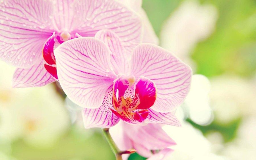 Phalaenopsis (Mauve Stripe) moth orchid, moth orchid, moth orchids, phalaenopsis, orchid, orchids, cymbidium, south east Melbourne, Melbourne, orchid clubs, orchid societies, OSCOV, orchid photos, orchid care, orchid pictures, orchid images, orchid shows, orchid newsletters, orchids on Facebook, orchids of Twitter, Moorabbin, Bentleigh, Brighton, Hampton, Sandringham, Black Rock, Beaumaris, Bayside Council, Bayside district, Kingston, Bayside Melbourne, SE Suburbs, Parkdale, Mordialloc, Carnegie, Cheltenham, McKinnon, Highett, Oakleigh, Clarinda, Heatherton, Clayton, Dingley, Elsternwick, Caulfield, Ormond, Glenhuntley, Murrumbeena,
