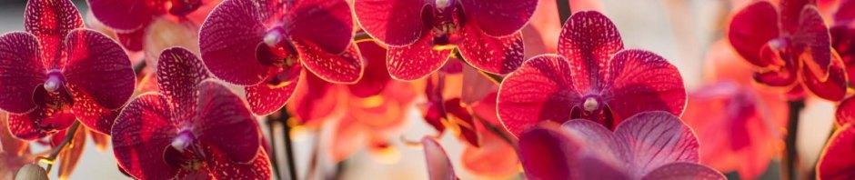 Phalaenopsis (Red) moth orchid, moth orchid, moth orchids, phalaenopsis, orchid, orchids, cymbidium, south east Melbourne, Melbourne, orchid clubs, orchid societies, OSCOV, orchid photos, orchid care, orchid pictures, orchid images, orchid shows, orchid newsletters, orchids on Facebook, orchids of Twitter, Moorabbin, Bentleigh, Brighton, Hampton, Sandringham, Black Rock, Beaumaris, Bayside Council, Bayside district, Kingston, Bayside Melbourne, SE Suburbs, Parkdale, Mordialloc, Carnegie, Cheltenham, McKinnon, Highett, Oakleigh, Clarinda, Heatherton, Clayton, Dingley, Elsternwick, Caulfield, Ormond, Glenhuntley, Murrumbeena,