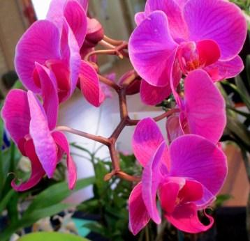Phalaenopsis 'Purple Blush', phalaenopsis, phalenopsis, orchid, moth orchid, moth orchids, orchids, cymbidium, cymbidium kimberly splash, tee pee, south east Melbourne, Melbourne, orchid clubs, orchid societies, OSCOV, orchid photos, orchid care, orchid pictures, orchid images, orchid shows, orchid newsletters, orchids on Facebook, orchids of Twitter, Moorabbin, Bentleigh, Brighton, Hampton, Sandringham, Black Rock, Beaumaris, Bayside Council, Bayside district, Kingston, Bayside Melbourne, SE Suburbs, Parkdale, Mordialloc, Carnegie, Cheltenham, McKinnon, Highett, Oakleigh, Clarinda, Heatherton, Clayton, Dingley, Elsternwick, Caulfield, Ormond, Glenhuntley, Murrumbeena,