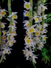 Dendrobium primulinum, dendrobiums, soft cane dendrobiums, orchid, orchids, cymbidium, south east Melbourne, Melbourne, orchid clubs, orchid societies, OSCOV, orchid photos, orchid care, orchid pictures, orchid images, orchid shows, orchid newsletters, orchids on Facebook, orchids of Twitter, Moorabbin, Bentleigh, Brighton, Hampton, Sandringham, Black Rock, Beaumaris, Bayside Council, Bayside district, Kingston, Bayside Melbourne, SE Suburbs, Parkdale, Mordialloc, Carnegie, Cheltenham, McKinnon, Highett, Oakleigh, Clarinda, Heatherton, Clayton, Dingley, Elsternwick, Caulfield, Ormond, Glenhuntley, Murrumbeena,