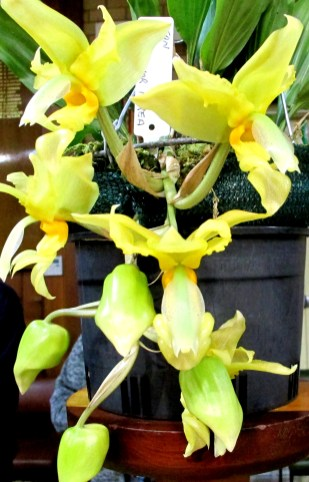 Stanhopea Wardii var Aurea, upside-down orchid, upside-down orchids, stanhopeas, orchid, orchids, cymbidium, south east Melbourne, Melbourne, orchid clubs, orchid societies, OSCOV, orchid photos, orchid care, orchid pictures, orchid images, orchid shows, orchid newsletters, orchids on Facebook, orchids of Twitter, Moorabbin, Bentleigh, Brighton, Hampton, Sandringham, Black Rock, Beaumaris, Bayside Council, Bayside district, Kingston, Bayside Melbourne, SE Suburbs, Parkdale, Mordialloc, Carnegie, Cheltenham, McKinnon, Highett, Oakleigh, Clarinda, Heatherton, Clayton, Dingley, Elsternwick, Caulfield, Ormond, Glenhuntley, Murrumbeena,