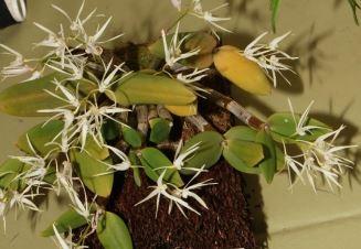 Dendrobium aemulum 'Pole Star'