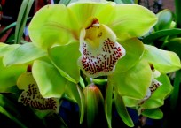 Cymbidium Kimberly Winter 'MB' x Kimberly Winter 'Malibu'