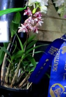 Dendrobium Victorian Flare 'Solid Violet Lip', orchid, orchids, cymbidium, cymbidium kimberly splash, tee pee, south east Melbourne, Melbourne, orchid clubs, orchid societies, OSCOV, orchid photos, orchid care, orchid pictures, orchid images, orchid shows, orchid newsletters, orchids on Facebook, orchids of Twitter, Moorabbin, Bentleigh, Brighton, Hampton, Sandringham, Black Rock, Beaumaris, Bayside Council, Bayside district, Kingston, Bayside Melbourne, SE Suburbs, Parkdale, Mordialloc, Carnegie, Cheltenham, McKinnon, Highett, Oakleigh, Clarinda, Heatherton, Clayton, Dingley, Elsternwick, Caulfield, Ormond, Glenhuntley, Murrumbeena,