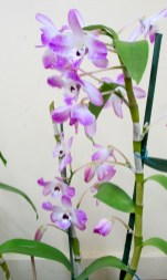 Softcane Dendrobium Nubel, orchid, orchids, cymbidium, cymbidium kimberly splash, tee pee, south east Melbourne, Melbourne, orchid clubs, orchid societies, OSCOV, orchid photos, orchid care, orchid pictures, orchid images, orchid shows, orchid newsletters, orchids on Facebook, orchids of Twitter, Moorabbin, Bentleigh, Brighton, Hampton, Sandringham, Black Rock, Beaumaris, Bayside Council, Bayside district, Kingston, Bayside Melbourne, SE Suburbs, Parkdale, Mordialloc, Carnegie, Cheltenham, McKinnon, Highett, Oakleigh, Clarinda, Heatherton, Clayton, Dingley, Elsternwick, Caulfield, Ormond, Glenhuntley, Murrumbeena,
