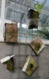 orchid species on boards, John Varigos orchid species collection @Central Park, Malvern, orchids, cymbidium, cymbidium kimberly splash, tee pee, south east Melbourne, Melbourne, orchid clubs, orchid societies, OSCOV, orchid photos, orchid care, orchid pictures, orchid images, orchid shows, orchid newsletters, orchids on Facebook, orchids of Twitter, Moorabbin, Bentleigh, Brighton, Hampton, Sandringham, Black Rock, Beaumaris, Bayside Council, Bayside district, Kingston, Bayside Melbourne, SE Suburbs, Parkdale, Mordialloc, Carnegie, Cheltenham, McKinnon, Highett, Oakleigh, Clarinda, Heatherton, Clayton, Dingley, Elsternwick, Caulfield, Ormond, Glenhuntley, Murrumbeena,