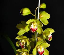 Cymbidium Keith's Pet 'Sissy', orchids, cymbidium, cymbidium kimberly splash, tee pee, south east Melbourne, Melbourne, orchid clubs, orchid societies, OSCOV, orchid photos, orchid care, orchid pictures, orchid images, orchid shows, orchid newsletters, orchids on Facebook, orchids of Twitter, Moorabbin, Bentleigh, Brighton, Hampton, Sandringham, Black Rock, Beaumaris, Bayside Council, Bayside district, Kingston, Bayside Melbourne, SE Suburbs, Parkdale, Mordialloc, Carnegie, Cheltenham, McKinnon, Highett, Oakleigh, Clarinda, Heatherton, Clayton, Dingley, Elsternwick, Caulfield, Ormond, Glenhuntley, Murrumbeena,