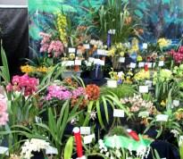 Dandenong & District Orchid Club display, OSCOV Show, Melbourne Orchid Spectacular, orchids, cymbidium, cymbidium kimberly splash, tee pee, south east Melbourne, Melbourne, orchid clubs, orchid societies, OSCOV, orchid photos, orchid care, orchid pictures, orchid images, orchid shows, orchid newsletters, orchids on Facebook, orchids of Twitter, Moorabbin, Bentleigh, Brighton, Hampton, Sandringham, Black Rock, Beaumaris, Bayside Council, Bayside district, Kingston, Bayside Melbourne, SE Suburbs, Parkdale, Mordialloc, Carnegie, Cheltenham, McKinnon, Highett, Oakleigh, Clarinda, Heatherton, Clayton, Dingley, Elsternwick, Caulfield, Ormond, Glenhuntley, Murrumbeena