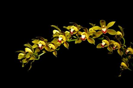 Cymbidium lowianum orchids, cymbidium, cymbidium kimberly splash, tee pee, south east Melbourne, Melbourne, orchid clubs, orchid societies, OSCOV, orchid photos, orchid care, orchid pictures, orchid images, orchid shows, orchid newsletters, orchids on Facebook, orchids of Twitter, Moorabbin, Bentleigh, Brighton, Hampton, Sandringham, Black Rock, Beaumaris, Bayside Council, Bayside district, Kingston, Bayside Melbourne, SE Suburbs, Parkdale, Mordialloc, Carnegie, Cheltenham, McKinnon, Highett, Oakleigh, Clarinda, Heatherton, Clayton, Dingley, Elsternwick, Caulfield, Ormond, Glenhuntley, Murrumbeena,