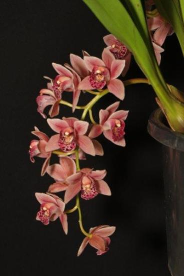 Cymbidium Paradisian Surprise 'Pinky' orchids, cymbidium, cymbidium kimberly splash, tee pee, south east Melbourne, Melbourne, orchid clubs, orchid societies, OSCOV, orchid photos, orchid care, orchid pictures, orchid images, orchid shows, orchid newsletters, orchids on Facebook, orchids of Twitter, Moorabbin, Bentleigh, Brighton, Hampton, Sandringham, Black Rock, Beaumaris, Bayside Council, Bayside district, Kingston, Bayside Melbourne, SE Suburbs, Parkdale, Mordialloc, Carnegie, Cheltenham, McKinnon, Highett, Oakleigh, Clarinda, Heatherton, Clayton, Dingley, Elsternwick, Caulfield, Ormond, Glenhuntley, Murrumbeena,