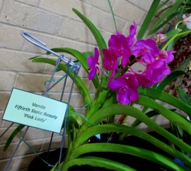 Vanda Fiftieth State Beauty 'Pink Lady', orchids, cymbidium, cymbidium kimberly splash, tee pee, south east Melbourne, Melbourne, orchid clubs, orchid societies, OSCOV, orchid photos, orchid care, orchid pictures, orchid images, orchid shows, orchid newsletters, orchids on Facebook, orchids of Twitter, Moorabbin, Bentleigh, Brighton, Hampton, Sandringham, Black Rock, Beaumaris, Bayside Council, Bayside district, Kingston, Bayside Melbourne, SE Suburbs, Parkdale, Mordialloc, Carnegie, Cheltenham, McKinnon, Highett, Oakleigh, Clarinda, Heatherton, Clayton, Dingley, Elsternwick, Caulfield, Ormond, Glenhuntley, Murrumbeena,