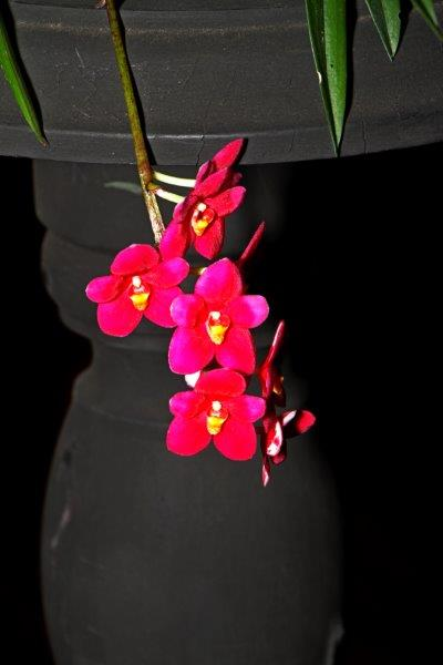 Sarcochilus (Dune Nicky's Twin x Kulnuma Dazzel), orchids, cymbidium, cymbidium kimberly splash, tee pee, south east Melbourne, Melbourne, orchid clubs, orchid societies, OSCOV, orchid photos, orchid care, orchid pictures, orchid images, orchid shows, orchid newsletters, orchids on Facebook, orchids of Twitter, Moorabbin, Bentleigh, Brighton, Hampton, Sandringham, Black Rock, Beaumaris, Bayside Council, Bayside district, Kingston, Bayside Melbourne, SE Suburbs, Parkdale, Mordialloc, Carnegie, Cheltenham, McKinnon, Highett, Oakleigh, Clarinda, Heatherton, Clayton, Dingley, Elsternwick, Caulfield, Ormond, Glenhuntley, Murrumbeena,