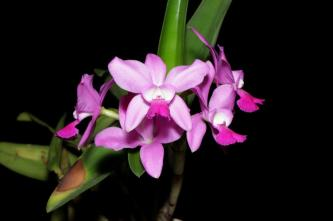 Cattleya Lavender Ice, orchids, cymbidium, cymbidium kimberly splash, tee pee, south east Melbourne, Melbourne, orchid clubs, orchid societies, OSCOV, orchid photos, orchid care, orchid pictures, orchid images, orchid shows, orchid newsletters, orchids on Facebook, orchids of Twitter, Moorabbin, Bentleigh, Brighton, Hampton, Sandringham, Black Rock, Beaumaris, Bayside Council, Bayside district, Kingston, Bayside Melbourne, SE Suburbs, Parkdale, Mordialloc, Carnegie, Cheltenham, McKinnon, Highett, Oakleigh, Clarinda, Heatherton, Clayton, Dingley, Elsternwick, Caulfield, Ormond, Glenhuntley, Murrumbeena,