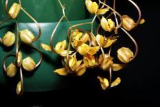 Gongora galeata, orchids, cymbidium, cymbidium kimberly splash, tee pee, south east Melbourne, Melbourne, orchid clubs, orchid societies, OSCOV, orchid photos, orchid care, orchid pictures, orchid images, orchid shows, orchid newsletters, orchids on Facebook, orchids of Twitter, Moorabbin, Bentleigh, Brighton, Hampton, Sandringham, Black Rock, Beaumaris, Bayside Council, Bayside district, Kingston, Bayside Melbourne, SE Suburbs, Parkdale, Mordialloc, Carnegie, Cheltenham, McKinnon, Highett, Oakleigh, Clarinda, Heatherton, Clayton, Dingley, Elsternwick, Caulfield, Ormond, Glenhuntley, Murrumbeena,