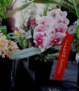 Phalaenopsis unknown, orchids, cymbidium, cymbidium kimberly splash, tee pee, south east Melbourne, Melbourne, orchid clubs, orchid societies, OSCOV, orchid photos, orchid care, orchid pictures, orchid images, orchid shows, orchid newsletters, orchids on Facebook, orchids of Twitter, Moorabbin, Bentleigh, Brighton, Hampton, Sandringham, Black Rock, Beaumaris, Bayside Council, Bayside district, Kingston, Bayside Melbourne, SE Suburbs, Parkdale, Mordialloc, Carnegie, Cheltenham, McKinnon, Highett, Oakleigh, Clarinda, Heatherton, Clayton, Dingley, Elsternwick, Caulfield, Ormond, Glenhuntley, Murrumbeena,