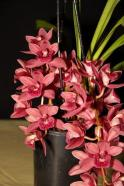 Cymbidium Kiwi Devonport 'Flying High', cymbidium, cymbidium kimberly splash, tee pee, south east Melbourne, Melbourne, orchid clubs, orchid societies, OSCOV, orchid photos, orchid care, orchid pictures, orchid images, orchid shows, orchid newsletters, orchids on Facebook, orchids of Twitter, Moorabbin, Bentleigh, Brighton, Hampton, Sandringham, Black Rock, Beaumaris, Bayside Council, Bayside district, Kingston, Bayside Melbourne, SE Suburbs, Parkdale, Mordialloc, Carnegie, Cheltenham, McKinnon, Highett, Oakleigh, Clarinda, Heatherton, Clayton, Dingley, Elsternwick, Caulfield, Ormond, Glenhuntley, Murrumbeena,