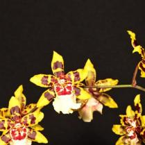 Oncidium Colmanara Wldcat Red Star, cymbidium, cymbidium kimberly splash, tee pee, south east Melbourne, Melbourne, orchid clubs, orchid societies, OSCOV, orchid photos, orchid care, orchid pictures, orchid images, orchid shows, orchid newsletters, orchids on Facebook, orchids of Twitter, Moorabbin, Bentleigh, Brighton, Hampton, Sandringham, Black Rock, Beaumaris, Bayside Council, Bayside district, Kingston, Bayside Melbourne, SE Suburbs, Parkdale, Mordialloc, Carnegie, Cheltenham, McKinnon, Highett, Oakleigh, Clarinda, Heatherton, Clayton, Dingley, Elsternwick, Caulfield, Ormond, Glenhuntley, Murrumbeena,