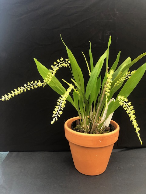 Dendrochilum Glumaceum, cymbidium, cymbidium kimberly splash, tee pee, south east Melbourne, Melbourne, orchid clubs, orchid societies, OSCOV, orchid photos, orchid care, orchid pictures, orchid images, orchid shows, orchid newsletters, orchids on Facebook, orchids of Twitter, Moorabbin, Bentleigh, Brighton, Hampton, Sandringham, Black Rock, Beaumaris, Bayside Council, Bayside district, Kingston, Bayside Melbourne, SE Suburbs, Parkdale, Mordialloc, Carnegie, Cheltenham, McKinnon, Highett, Oakleigh, Clarinda, Heatherton, Clayton, Dingley, Elsternwick, Caulfield, Ormond, Glenhuntley, Murrumbeena,