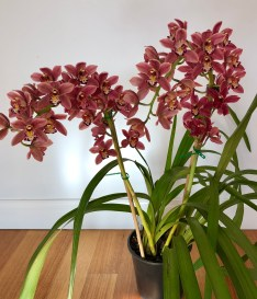 Cymbidium unknown, south east Melbourne, Melbourne, orchid clubs, orchid societies, OSCOV, orchid photos, orchid care, orchid pictures, orchid images, orchid shows, orchid newsletters, orchids on Facebook, orchids of Twitter, Moorabbin, Bentleigh, Brighton, Hampton, Sandringham, Black Rock, Beaumaris, Bayside Council, Bayside district, Kingston, Bayside Melbourne, SE Suburbs, Parkdale, Mordialloc, Carnegie, Cheltenham, McKinnon, Highett, Oakleigh, Clarinda, Heatherton, Clayton, Dingley, Elsternwick, Caulfield, Ormond, Glenhuntley, Murrumbeena,