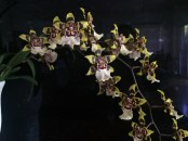 Colmanara Wildcat 'Red Star', south east Melbourne, Melbourne, orchid clubs, orchid societies, OSCOV, orchid photos, orchid care, orchid pictures, orchid images, orchid shows, orchid newsletters, orchids on Facebook, orchids of Twitter, Moorabbin, Bentleigh, Brighton, Hampton, Sandringham, Black Rock, Beaumaris, Bayside Council, Bayside district, Kingston, Bayside Melbourne, SE Suburbs, Parkdale, Mordialloc, Carnegie, Cheltenham, McKinnon, Highett, Oakleigh, Clarinda, Heatherton, Clayton, Dingley, Elsternwick, Caulfield, Ormond, Glenhuntley, Murrumbeena,