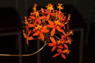 Epidendrum Orange, south east Melbourne, Melbourne, orchid clubs, orchid societies, OSCOV, orchid photos, orchid care, orchid pictures, orchid images, orchid shows, orchid newsletters, orchids on Facebook, orchids of Twitter, Moorabbin, Bentleigh, Brighton, Hampton, Sandringham, Black Rock, Beaumaris, Bayside Council, Bayside district, Kingston, Bayside Melbourne, SE Suburbs, Parkdale, Mordialloc, Carnegie, Cheltenham, McKinnon, Highett, Oakleigh, Clarinda, Heatherton, Clayton, Dingley, Elsternwick, Caulfield, Ormond, Glenhuntley, Murrumbeena,