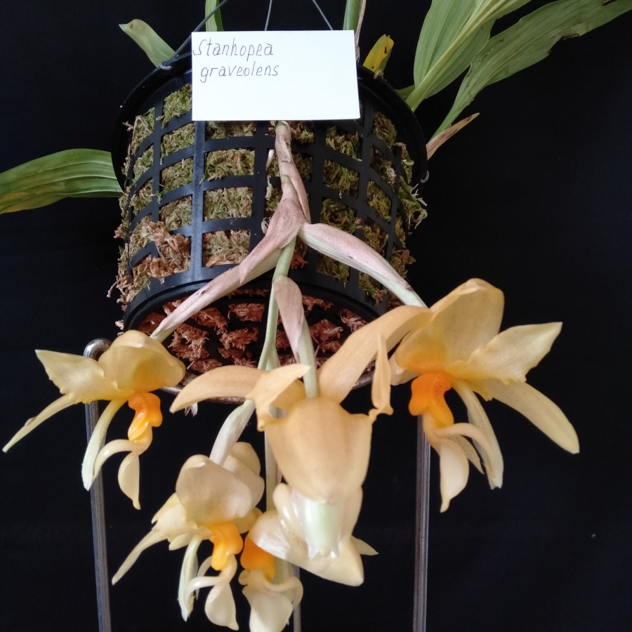 Stanhopea graveolens, south east Melbourne, Melbourne, orchid clubs, orchid societies, OSCOV, orchid photos, orchid care, orchid pictures, orchid images, orchid shows, orchid newsletters, orchids on Facebook, orchids of Twitter, Moorabbin, Bentleigh, Brighton, Hampton, Sandringham, Black Rock, Beaumaris, Bayside Council, Bayside district, Kingston, Bayside Melbourne, SE Suburbs, Parkdale, Mordialloc, Carnegie, Cheltenham, McKinnon, Highett, Oakleigh, Clarinda, Heatherton, Clayton, Dingley, Elsternwick, Caulfield, Ormond, Glenhuntley, Murrumbeena,