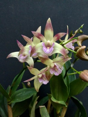 Dendrobium Ellen 'Atlanta' x Aussie Victory