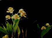 Dendrobium Flecken Babylon 'Star of Gold'
