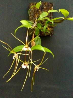 Dendrobium tetragonal x self