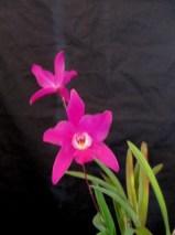 Laelia albida 'Violet Snowflake' x Laelia Gouldiana 'Westernport'