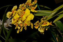 Oncidium hybrid 'Goldiana' (Novice)