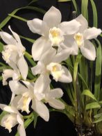 Cym. Dural Show 'Purity'