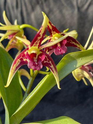 Dendrobium Victoria Regency x Hilda Poxon