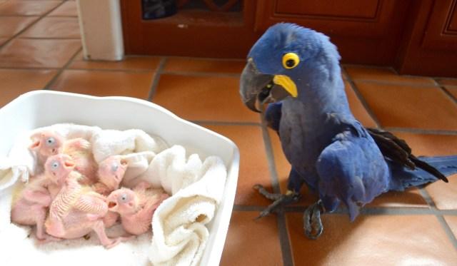 Image result for fertile parrots eggs for sale