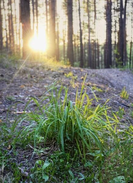 Hutan Berdaun Jarum : hutan, berdaun, jarum, Berdaun, Jarum, Foto,, Gambar, Bebas, Royalti, Depositphotos®