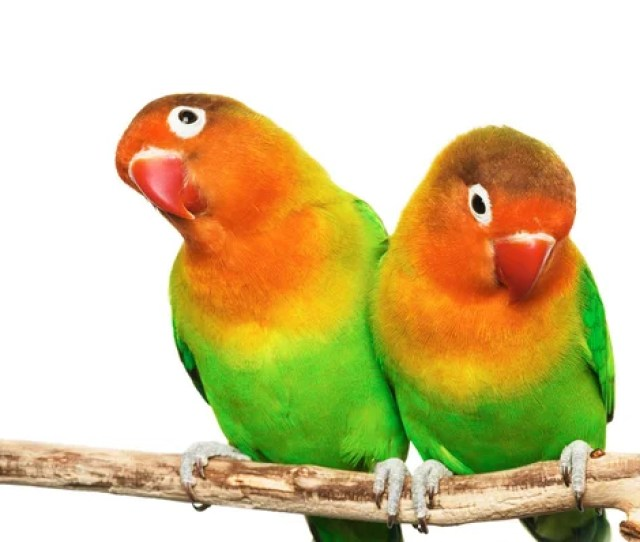 Pair Of Lovebirds Stock Photo