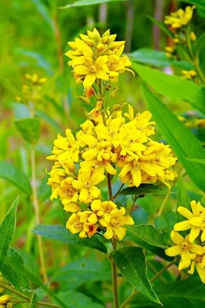 gelb blhende Strucher im Frhjahr  Stockfoto